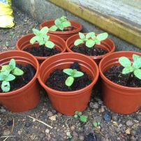 Maz's seedlings